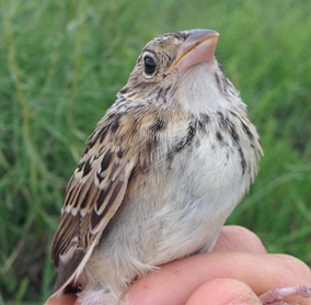 Hatch-year Grasshopper Sparrow